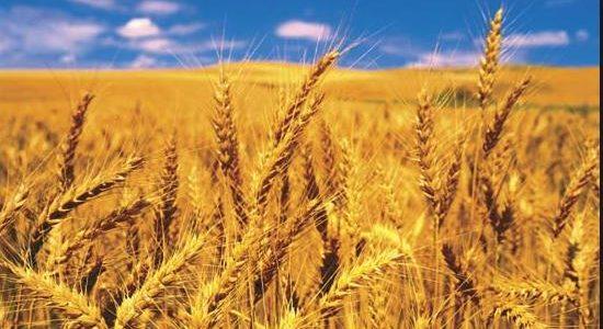 """Wheat: un """"13"""" conferma il low – 21 febbraio – ore 17,15"""