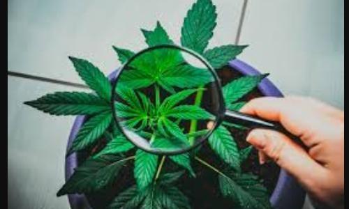 Protetto: Titoli Cannabis: dopo i pessimi earnings i titoli rimbalzano violentemente…cosa fare? – 21 novembre 2019 – ore 19,15